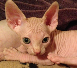 sphynx cat for sale cheap